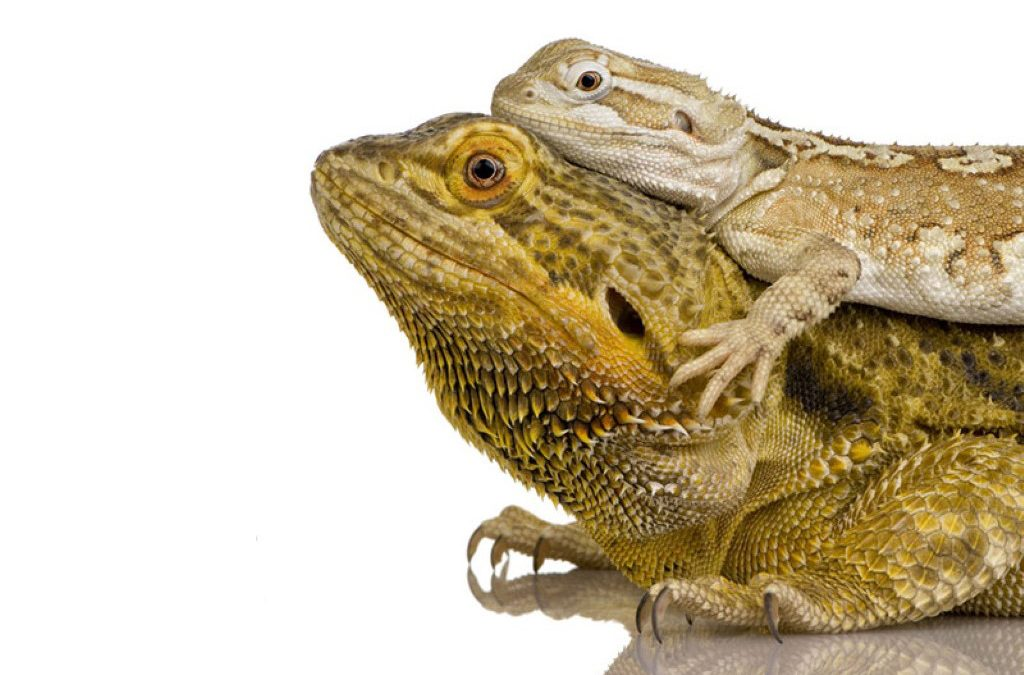 Beginners Guide to Owning Bearded Dragons
